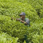 Worker at Gisukura Tea Plantation, Nyungwe NP