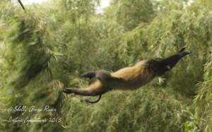 Golden Monkey in flight - Volcanoes National Park