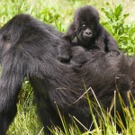 Gorilla mother and young -  Volcanoes National Park