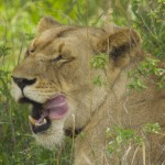 Lioness - Akagera National Park