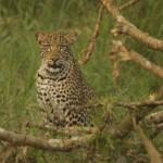 Leopard - Akagera National Park