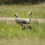 Grey Crowned Cranes - Akagera NP