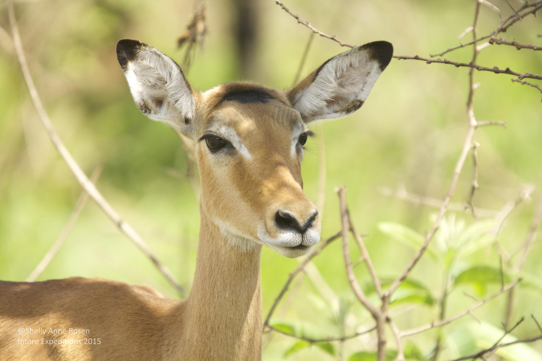 Impala - Akagera NP