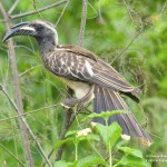 African Grey Hornbill - Akagera National Park