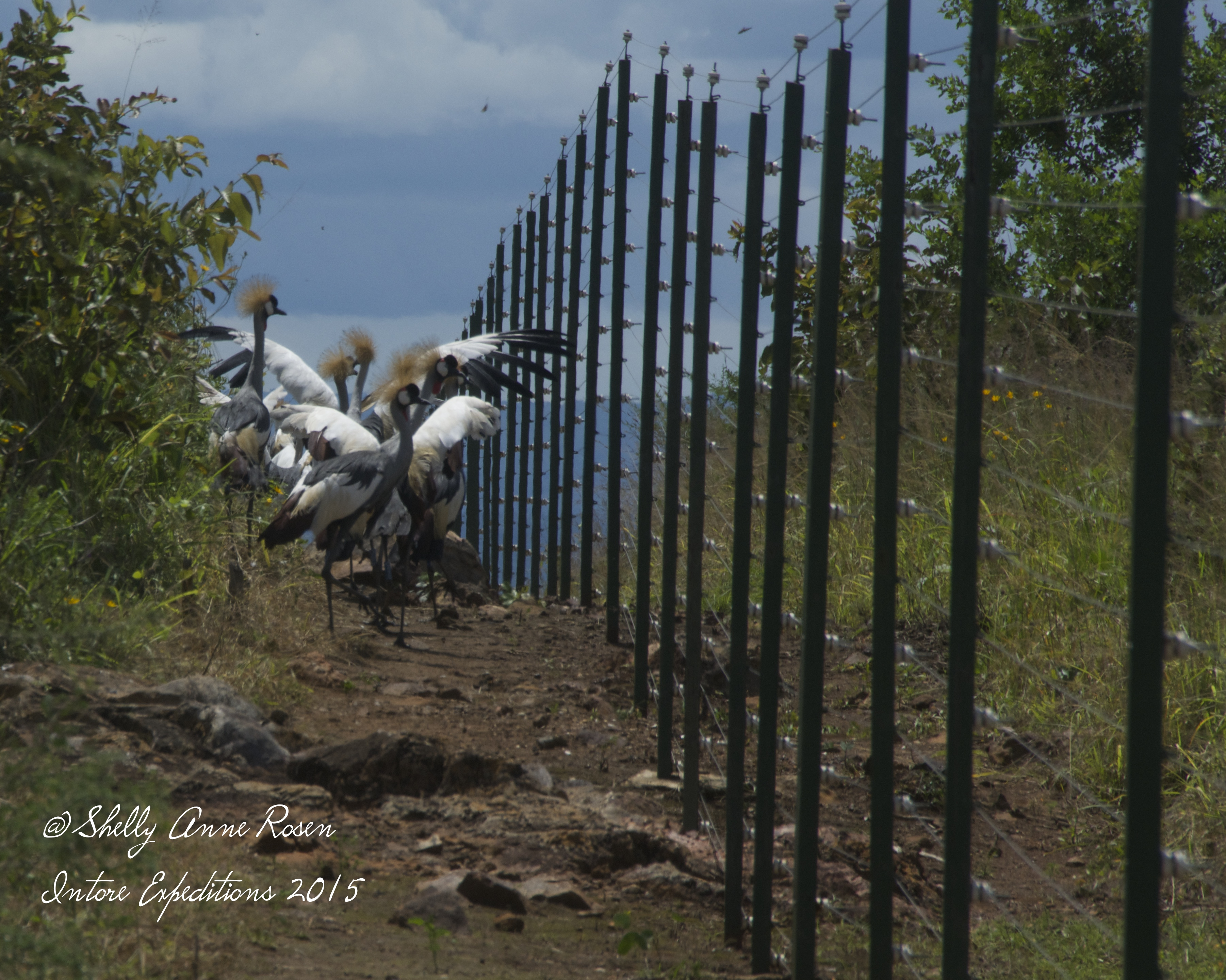 Grey Crested Crane relocation project - Akagera National Park
