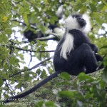 Colobus monkey - Nyungwe National Park