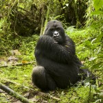 Silverback - Volcanoes National Park
