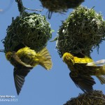 Black faced weaver bird males building nests - Akagera NP