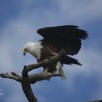 African Fish Eagle - Akagera National Park
