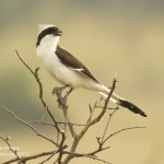 Grey-backed Fiscal - Akagera NP